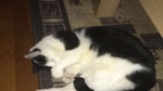 01 januari 2017 - Vermist kat: wit met zwart