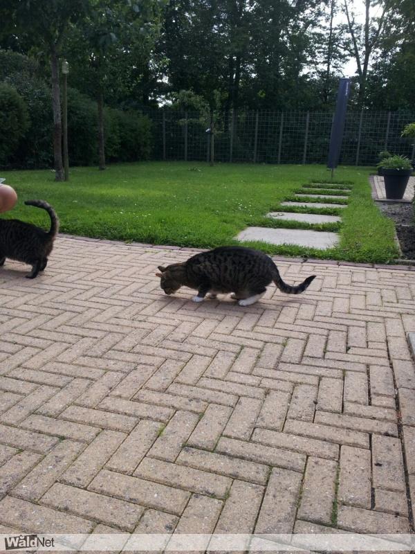 donderdag 23 februari - Cyperse, gechipte kat vermist