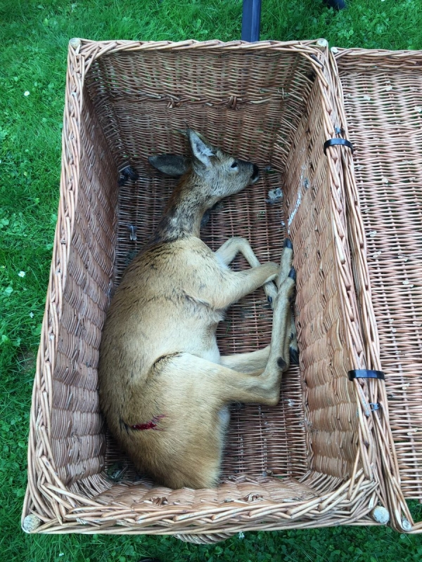zaterdag 06 augustus - Reebokje verdwaald in Drachten