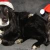21 december 2012 Dokkum - Fijne feestdagen, het is weer gelukt om de honden met een kerstmuts op de foto te krijgen.