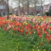 13 mei 2013 Dokkum - heel veel tulpen bij de bronlaan. 
