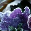 28 december 2014 Drachten - Bevroren viooltjes in de tuin....