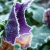 28 december 2014 Drachten - Na een koude nacht zijn de viooltjes in de tuin bevroren....