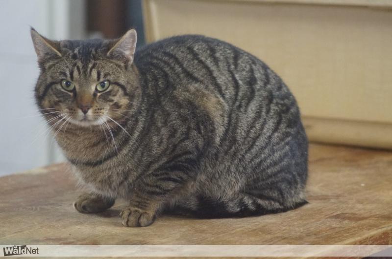 cyperse kat # (hurdegaryp/tytsjerk) - vermist / verloren