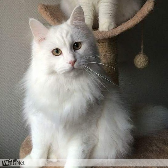 donderdag 20 juli - Witte kat Mormel vermist