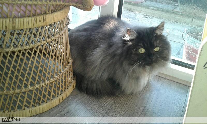 zondag 23 juli - Persische kat vermist Zwaagwesteinde