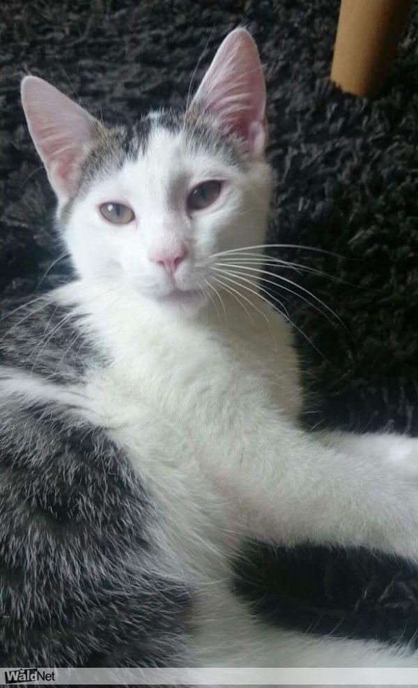 vrijdag 13 oktober - Kitten vermist - €250 beloning