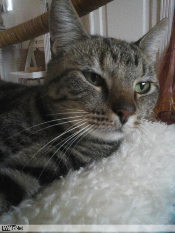 gevonden een cyperse kat - vermist / verloren