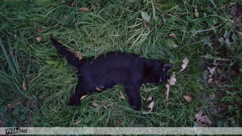 vrijdag 12 oktober - Zwarte kat gevonden sumar