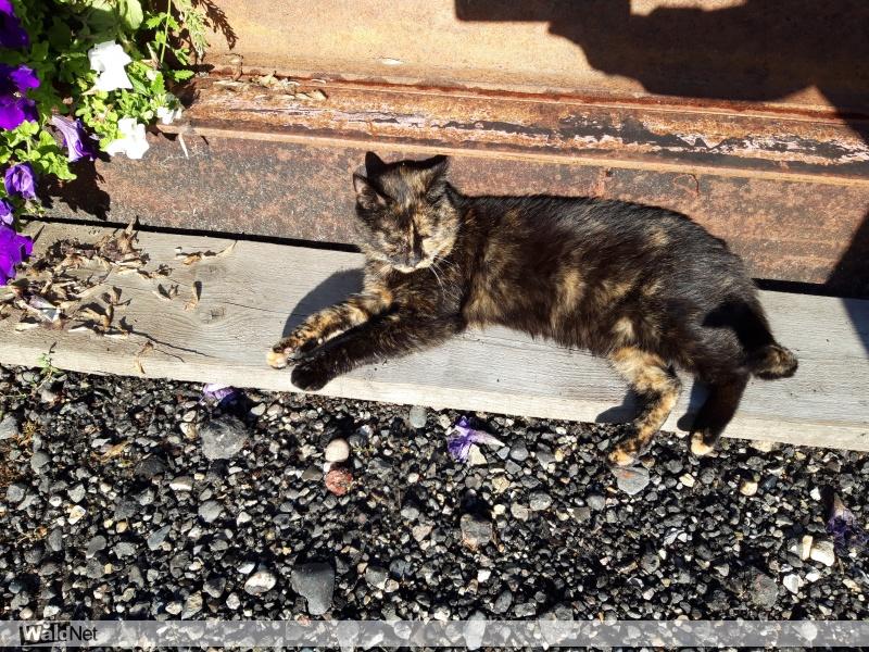 dinsdag 16 oktober - Vermist schildpadkleurige kat