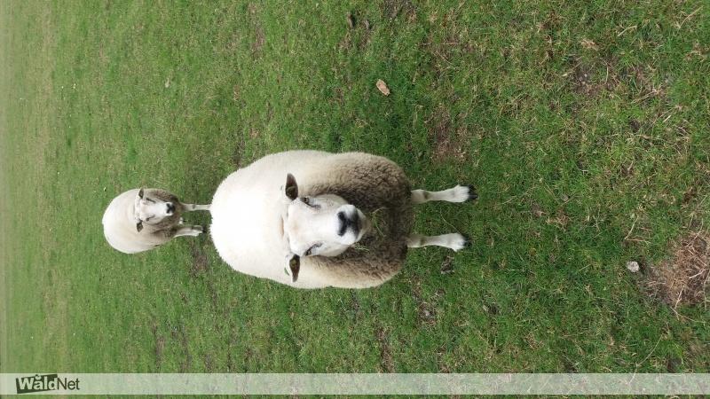 zondag 15 september - Vermist 2 schapen.