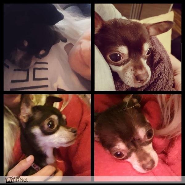 zaterdag 02 november - Kleine donkerbruine kortharige chihuahua Layla