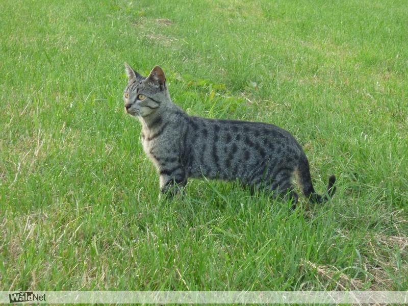 vrijdag 06 december - kat vermist (kater)