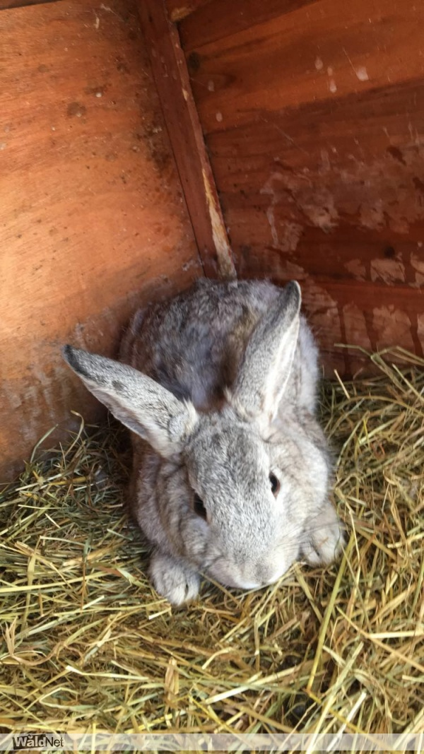 zondag 31 mei - Grijs konijntje vermist