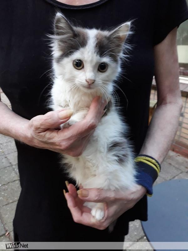 woensdag 19 augustus - Jonge kitten gevonden (vrouwtje)