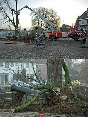 Oude boom gesnoeid in Dokkum