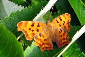 Damwoude: Vreemde vlinder gespot