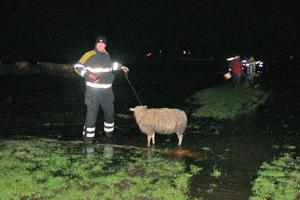 Brandweer jaagt schapen op 't  droge
