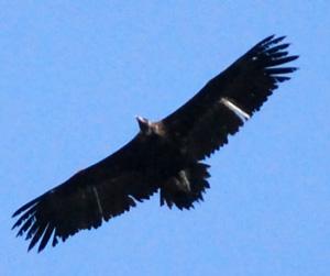 Zeldzame vogel gespot in de regio