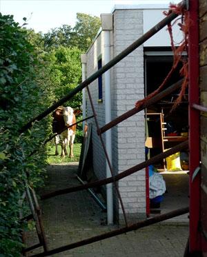 Koeien aan de wandel in Gytsjerk