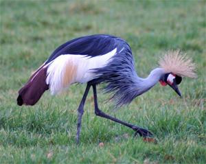 Burgumer kroonkraanvogel overleden