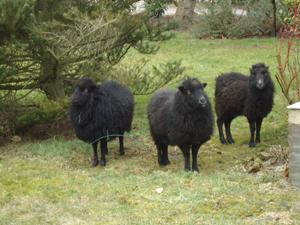 Zwarte schapen gevonden bij Gytsjerk