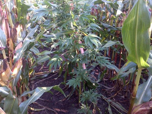 Hennep ontdekt in maïsveld bij Sumar