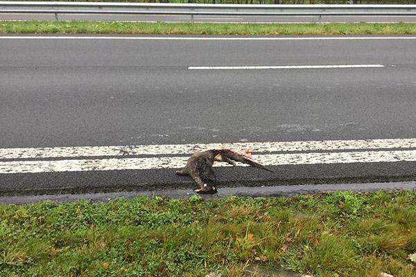 Otter doodgereden op de Centrale As