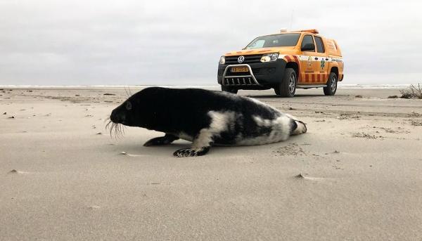 Grijze zeehond met zwarte vacht gespot op Ameland