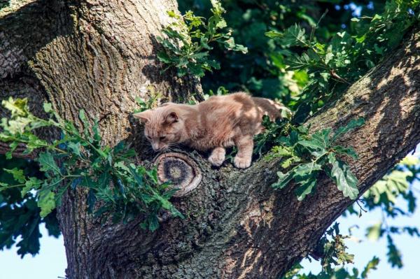 Brandweer redt kat uit de boom