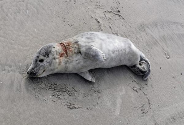 Gewond zeehondje op strand van Ameland